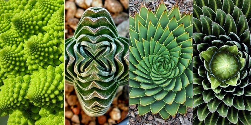 plants displaying fibonacci sequence balance