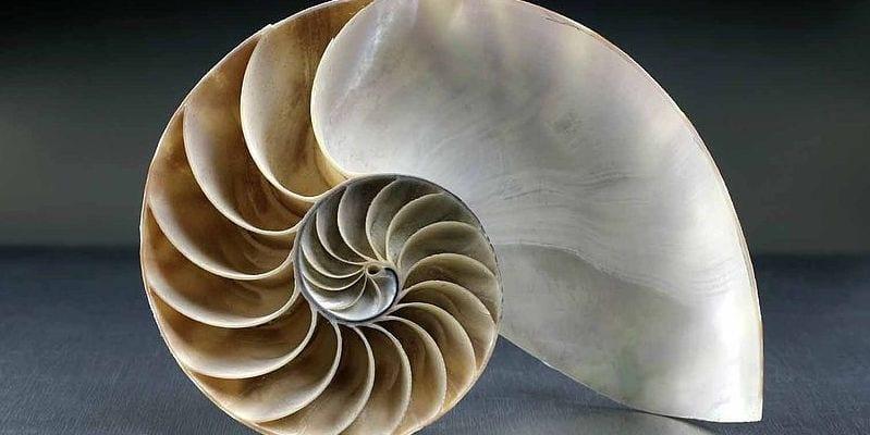nautilus shell displaying pattern balance